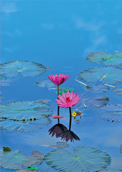 "Greeting card ""Water lilies"""