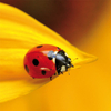 "Greeting card ""ladybird on a sunflower"""