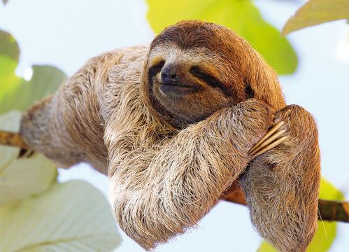 "Postcard  ""Sloth on a tree"""