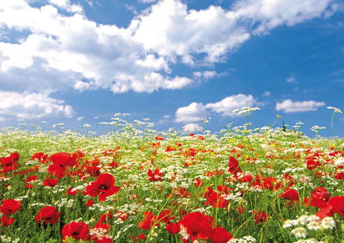"Greeting card ""poppy field"""
