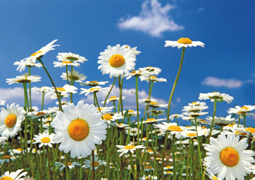 "Greeting card ""daisy meadow"""