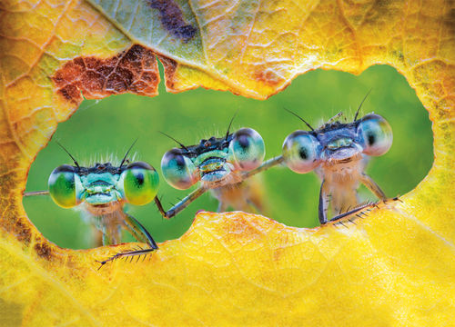 "Postcard  ""three damselflies"""